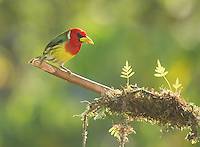 Male red-headed barbet, Eubucco bourcierii. Tandayapa Valley, Ecuador