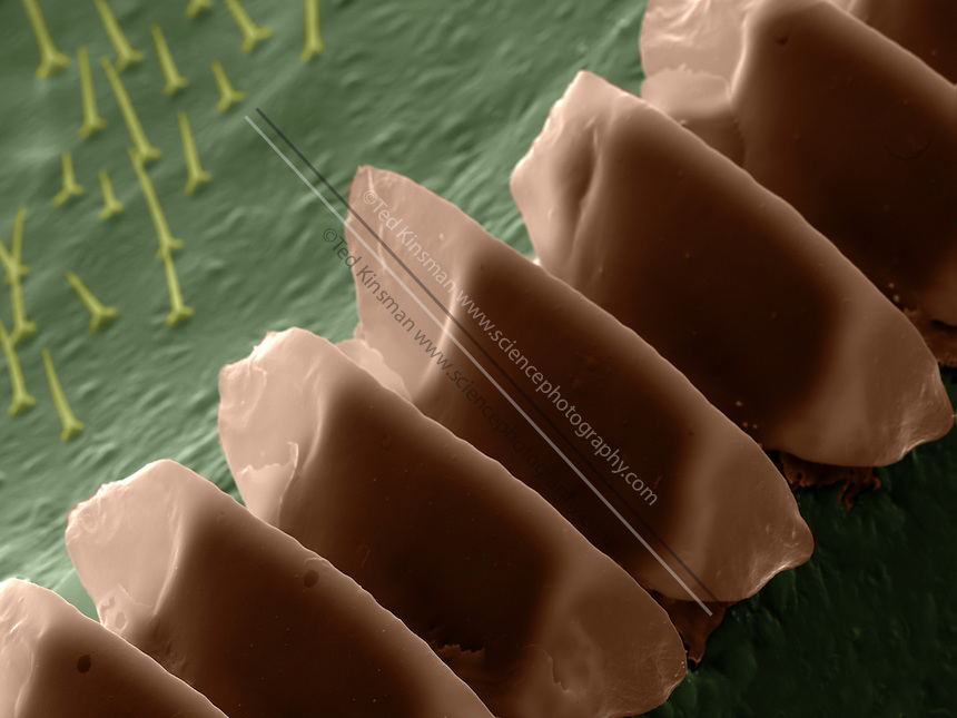 Scanning electron microscope  image of the sound producing comb of the Field Cricket (Gryllus pennsylvanicus).  This specimen was collected in the Finger Lake Region of New York State.  The comb is rubbed against the underside of the opposite wing.  Only male crickets produce the characteristic sound.  The magnification was   808x and the field of view of this image is  100um wide.
