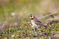 Horned lark on Alaska's tundra, Denali National Park, Interior, Alaska.