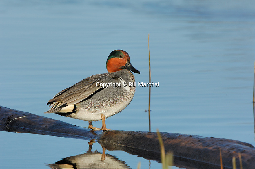 00310-015.01 Green-winged Teal Duck (DIGITAL) male is perched on a log over water.  Hunt, waterfowl, wetland. H4R1