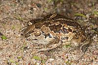 Knoblauchkröte, Knoblauch-Kröte, Kröte, Pelobates fuscus, common spadefoot, garlic toad, Schaufelkröte, Krötenfrosch