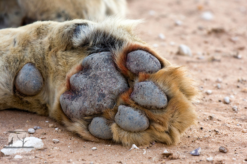 Underside view of a male lion's front paw