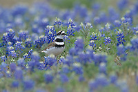 Killdeer, Charadrius vociferus, adult in Texas Bluebonnets, Choke Canyon State Park, Texas, USA