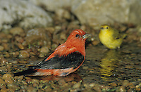 Scarlet Tanager, Piranga olivacea, male bathing, South Padre Island, Texas, USA, May 2005