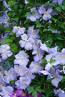 Clematis Blue Angel climbing vine
