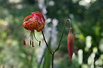 Leopard lillies