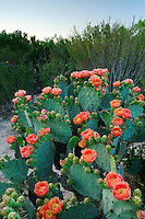 Texas Prickly Pear Cactus (Opuntia lindheimeri), plant blooming, Laredo, Webb County, South Texas, USA