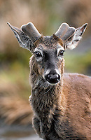 White-tailed deer. New antler growth covered in velvet..(Odocoileus virginianus)..Spring. Canada.
