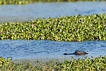 Brazoria County, Damon, Texas; an adult American Alligator (Alligator mississippiensis) floating with it's head above the water's surface amongst the water plants growing in the slough