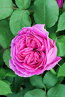 roses Rosa 'Madame Isaac Perriere', pink, old Bourbon rose, very fragrant, highly scented, antique rose, heirloom rose