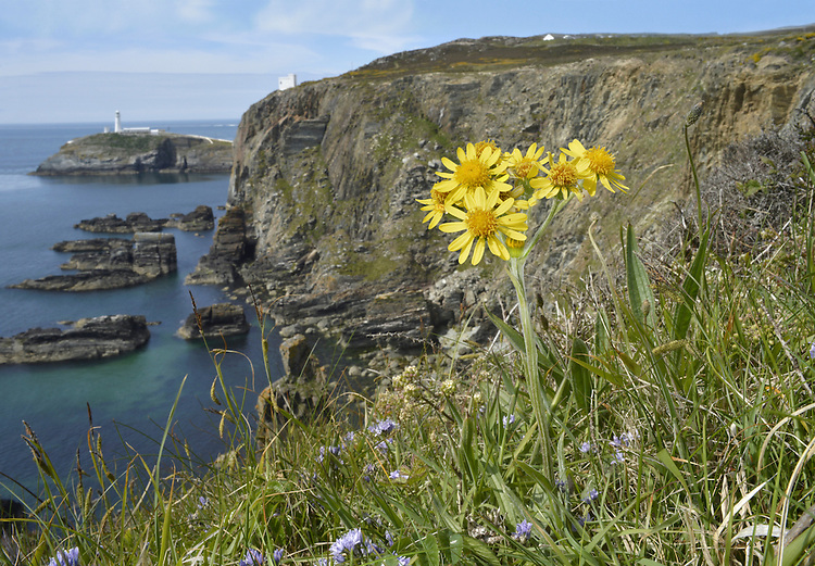 South Stack Fleawort - Tephroseris integrifolia ssp maritima