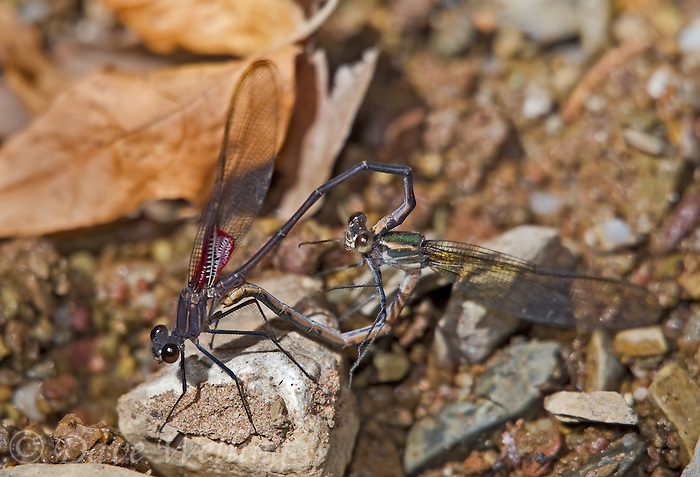 386970003 a wild male and female canyon rubyspot hetaerina vulnerata perch in copula or in the mating position  on a rock in garden canyon on fort huachuca army base cochise county arizona united states