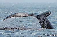 Humpback whale (Megaptera novaeanglia) diving fluke up, Hawai'i.