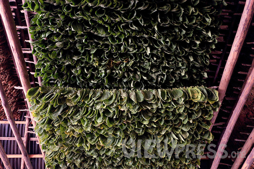 A view tobacco leaves at a warehouse in the western province of Pinar del Rio, Viñales, Cuba. February 28, 2017. Tourists from around the world visit to Cuba during the annual festival of the cigar celebrate from February 27 to 3 of March.  VIEWpress/Eliana Aponte.