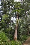 Falling teak tree cut down, Ella, Badulla District, Uva Province, Sri Lanka, Asia