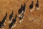 Namibia;  Namib Desert, herd of Burchell's zebras running, aerial view