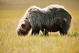 ALASKA, Homer, a grizzly bear grazes on vegetation, Katmai National Park, Katmai Peninsula, Hallow Bay, Gulf of Alaska