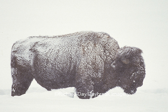 01985-00907 Bison (Bison bison) in snowstorm Yellowstone NP   WY