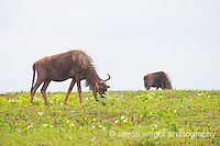 Africa, Swaziland, Malkerns. Milwane Nature Reserve game drive, wildebeest.