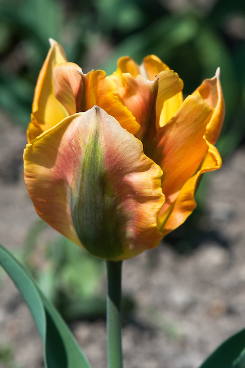 Tulip 'Golden Artist' (Viridiflora Group), late April.