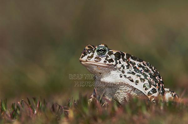 Green Toad, Bufo viridis, adult,National Park Lake Neusiedl, Burgenland, Austria, Europe