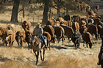 Greeley Hill, California, October 25, 2006.Erickson Cattle Company cattle drive from Boneyard Corral on Priest-Coulterville Road across Highway 49 to Penon Blanco Road... Photo by Al Golub/Golub Photography