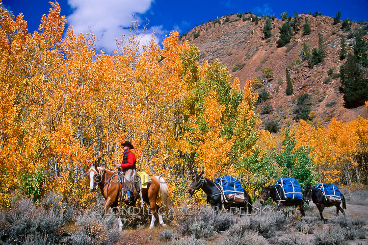 Cowboy packer leading a mule string in the high Sierra at Bishop Creek Canyon, California