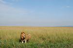 Africa  Kenya Masai Mara Lion
