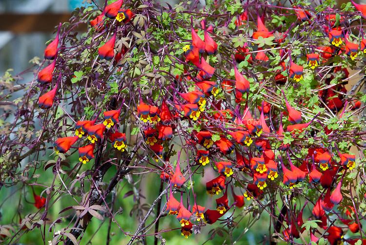 Tropaeolum tricolor plant flower stock photography gardenphotos tropaeolum tricolor annual climbing vine bolivian nasturtium in red purple black and mightylinksfo