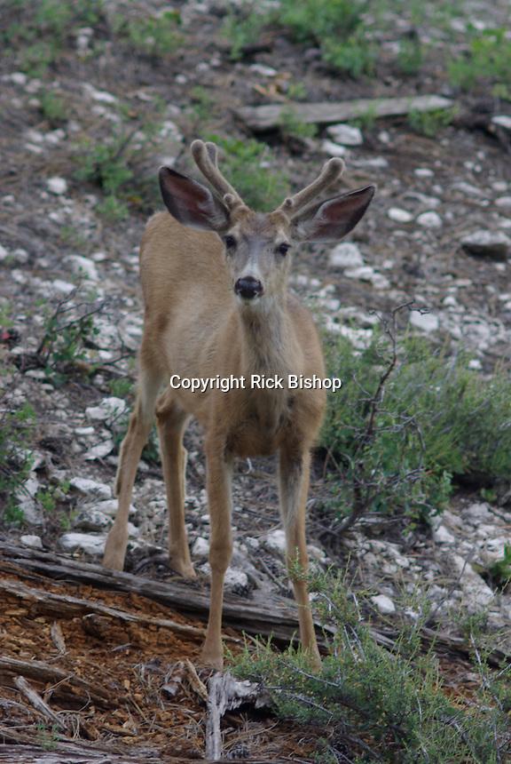 Mule Deer buck in velvet in southern Utah.