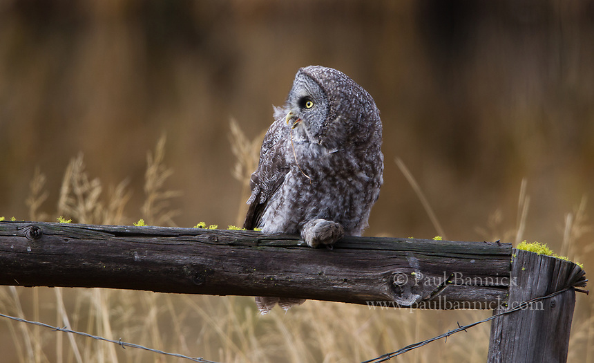 A juvenile Great Gray Owl prepares to eat a vole recently delivered by its parent.