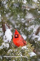 01530-21017 Northern Cardinal (Cardinalis cardinalis) male in Keteleeri Juniper tree (Juniperus chinensis 'Keteleeri') in winter, Marion Co., IL