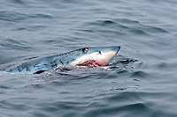 shortfin mako shark, Isurus oxyrinchus Rafinesque, 1809, eating harbor seal, Phoca vitulina, shark's head above water surface, seal carcass in mouth, teeth exposed, eye open, Monterey Bay National Marine Sanctuary, California, USA, East Pacific Ocean