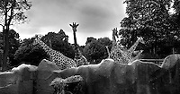 Low angle view of Giraffes, taken from the Keepers' passage, Parc Zoologique de Paris, or Zoo de Vincennes, (Zoological Gardens of Paris, also known as Vincennes Zoo), 1934, by Charles Letrosne, 12th arrondissement, Paris, France, pictured on April 28, 2011 in the afternoon. In November 2008 the 15 hectare Zoo, part of the Museum National d'Histoire Naturelle (National Museum of Natural History) closed its doors to the public and renovation works will start in September 2011. The Zoo is scheduled to re-open in April 2014. Picture by Manuel Cohen.