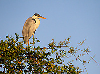 The Cocoi heron is closely related to the Great blue heron and Grey heron found on other continents.