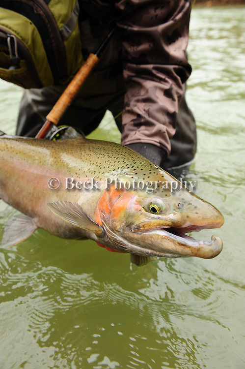 LAKE ERIE TRIB. STEELHEAD DEC 2012