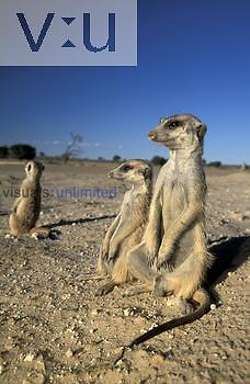 Meerkats or Suricates (Suricata suricatta) sunning on a cold morning, Kalahari Gemsbok National Park, South Africa.