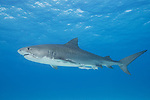 Tiger Beach, Grand Bahama Island, Bahamas; a large, female tiger shark swimming up in the water column near the surface