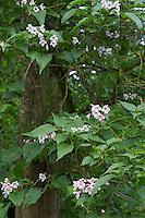 Verschiedenblättriger Trompetenbaum, Kugel-Trompetenbaum, Bunges Trompetenbaum, Catalpa bungei f. heterophylla, Catalpa heterophylla, Catalpa bungei, Catalpa syringifolia, catalpa