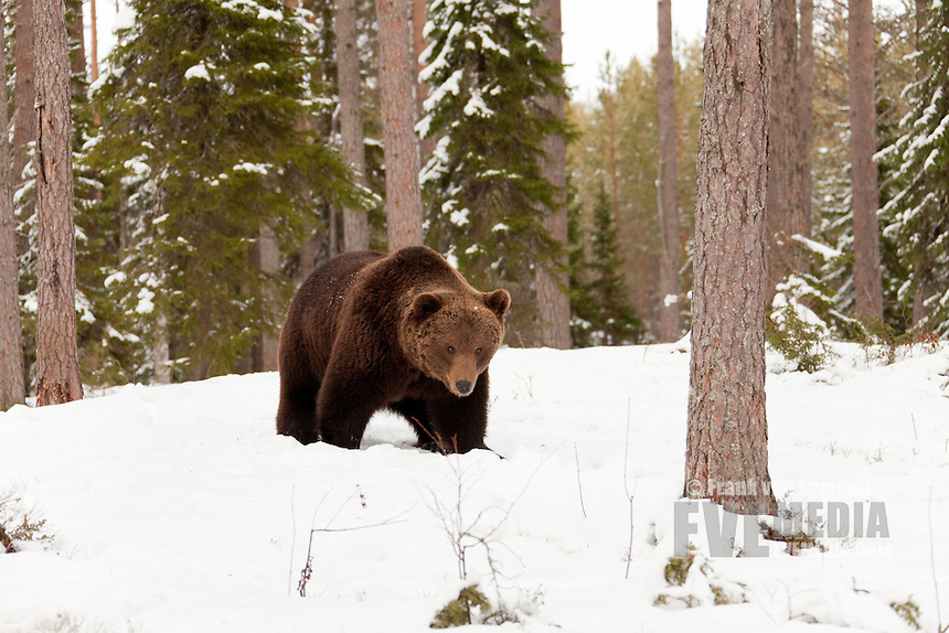 Eurasian brown bear in the snow in Taiga forest.