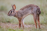 Eastern Cottontail (Sylvilagus floridanus), adult stretching, Sinton, Corpus Christi, Coastal Bend, Texas, USA