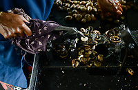 INDIA, Karnataka, Moodbidri, cashew processing factory, imported nuts from africa are processed for export, women crack and core raw nuts, the shells contain a aggressive acid, women protect hands with oil or gloves / INDIEN, Fabrik fuer Verarbeitung von aus Afrika importierten Kaschunuessen, Frauen knacken und schälen die rohen Nuesse