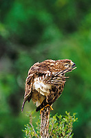542058011 a wild red-shouldered hawk buteo lineatus preens its tail feathers while perched on a dead tree snag in the rio grande valley of south texas