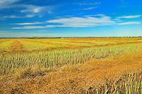 Canola crop<br /> Arcola<br /> Saskatchewan<br /> Canada