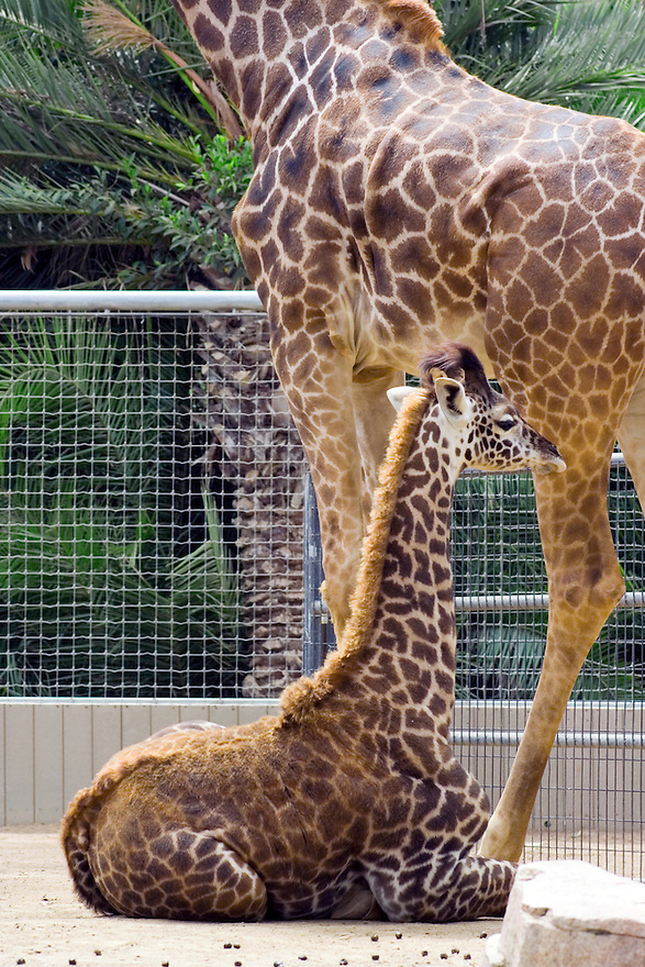 young giraffe sitting near mother at zoo