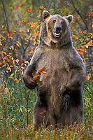 Grizzly Bear..Autumn. Rocky Mountains..(Ursus arctos).