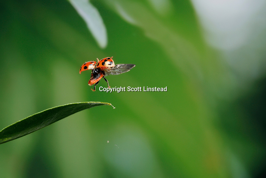 A ladybug taking off from a leaf