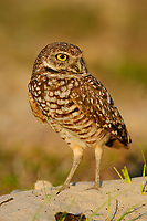 Burrowing Owl (Athene cunicularia) of the subspecies A. c. floridana near its nest burrow. Cape Coral, Florida. March.