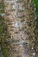 Gewöhnlicher Faulbaum, Rinde, Borke, Stamm, Frangula alnus, Rhamnus frangula, Alder Buckthorn, Common Buckthorn, bark, rind