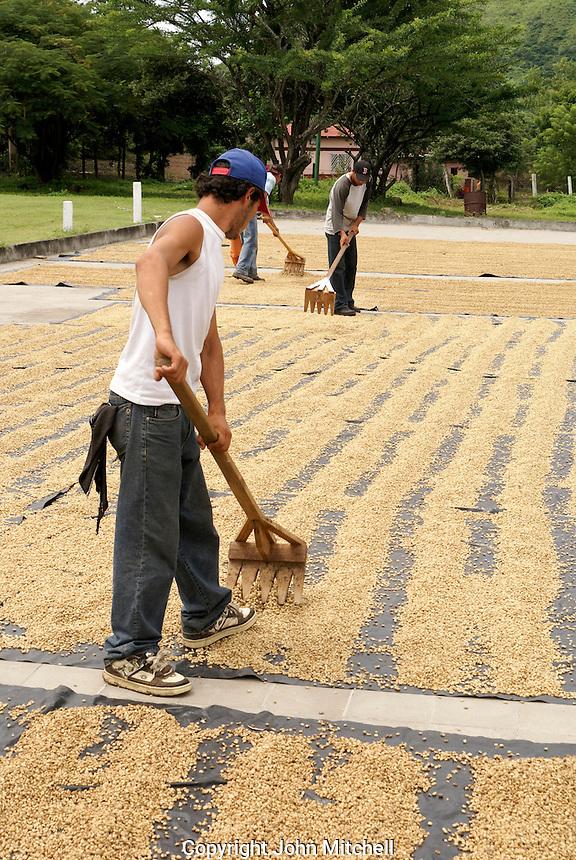 Men raking coffee beans drying in the sun near Matagalpa, Nicaragua
